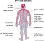 medium_systeme_nerveux.jpg